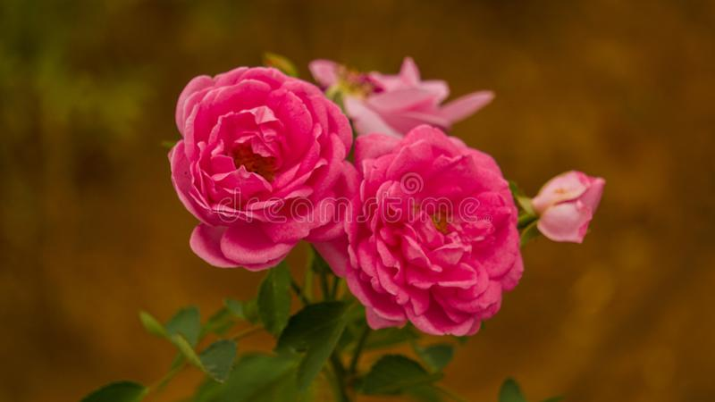 Damask rose. More commonly known as the Damask rose, sometimes as the rose of Castile, is a rose hybrid, derived from Rosa gallica and Rosa moschata, The flowers stock photo