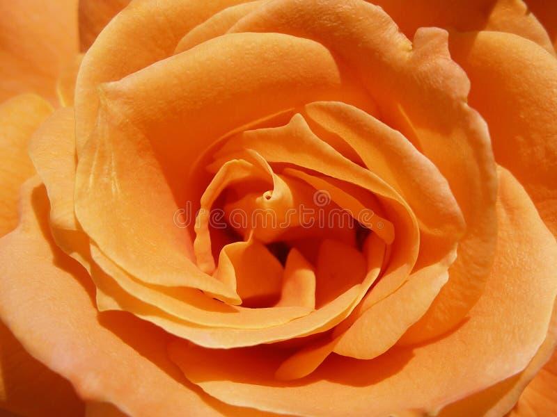 Download Rose zdjęcie stock. Obraz złożonej z kwiecisty, ogród, wzrastał - 145234