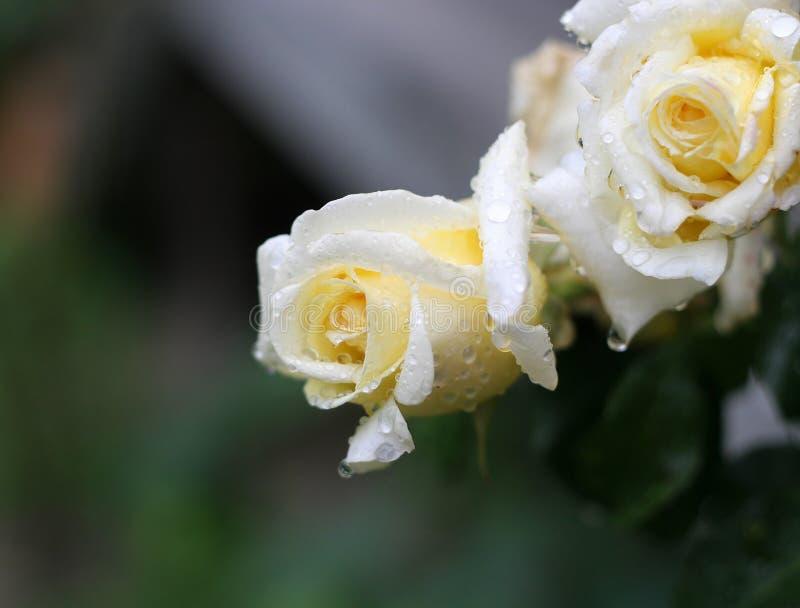 rose # obraz stock