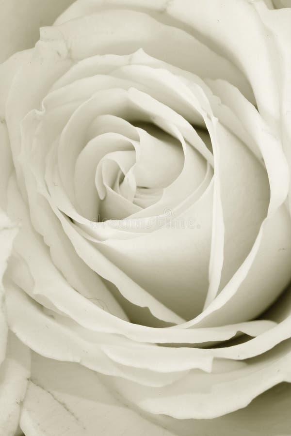 rose στοκ εικόνες