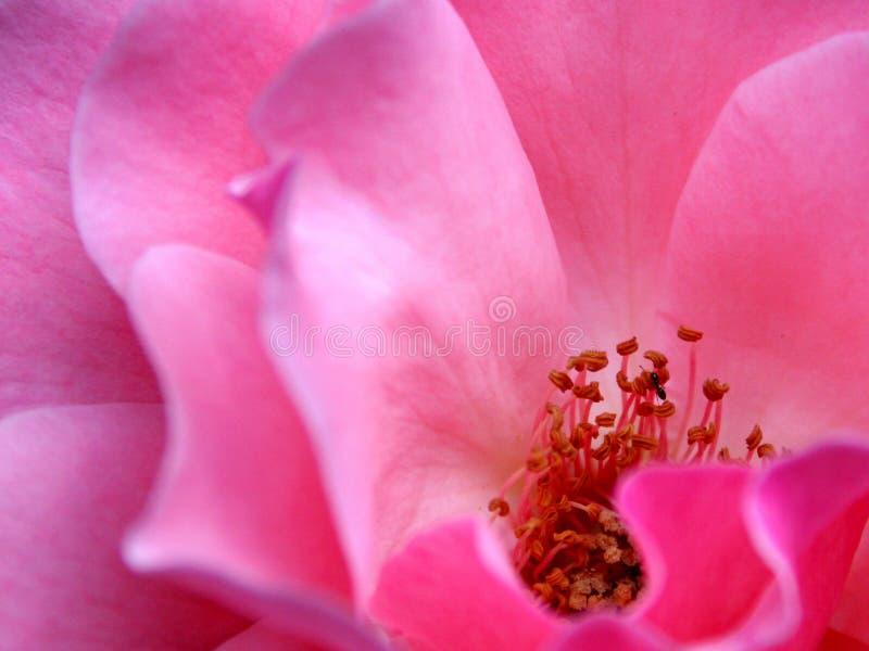 Download Rose stock image. Image of detail, color, nature, flower - 151031