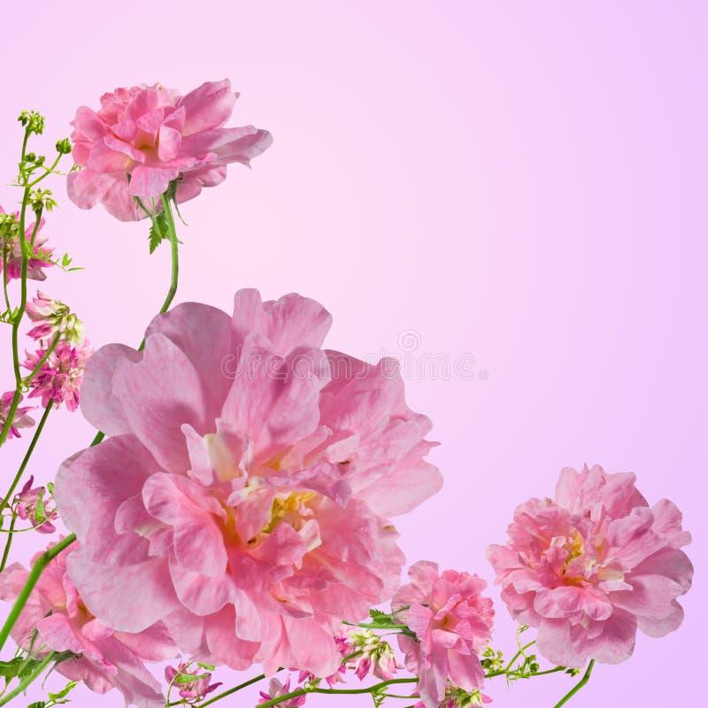 Free Rose Stock Photos - 16348733
