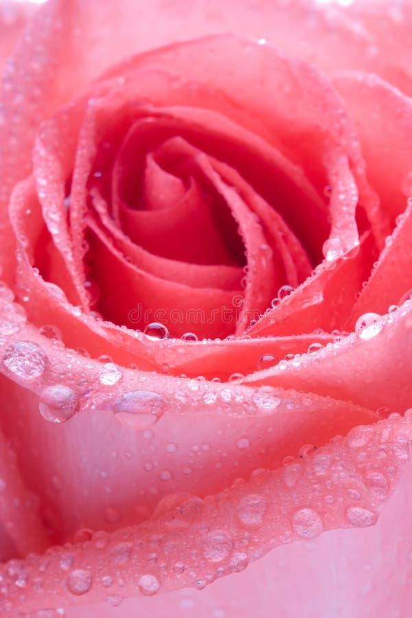rose obraz royalty free