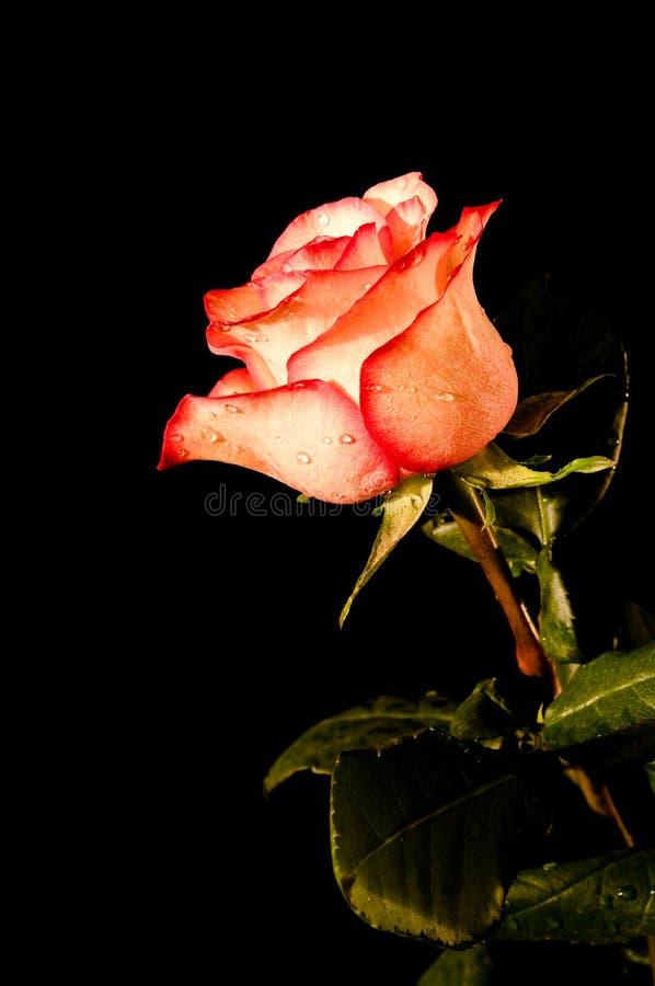 Free Rose Stock Photos - 17411583