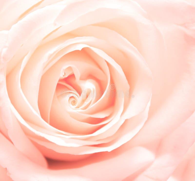 Download Rose Stock Photo - Image: 22807440