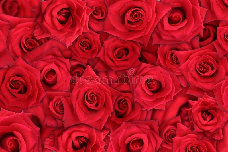 rose, zdjęcia stock