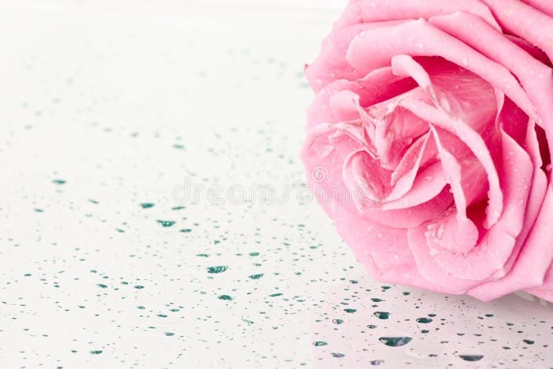 Download Rose stock photo. Image of beautiful, light, fresh, bloom - 24025614