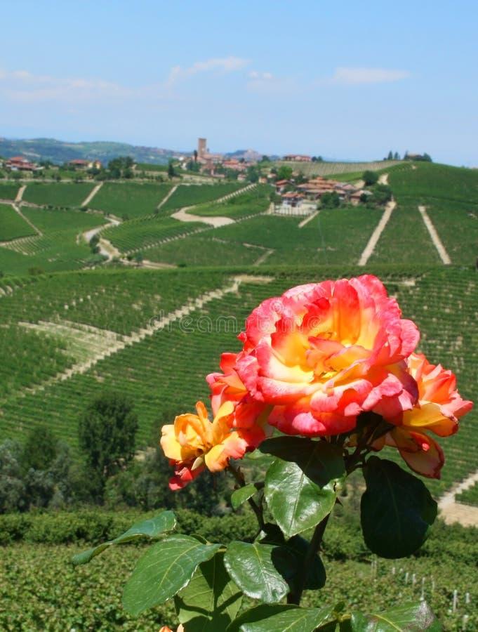 Download Rose stock photo. Image of wine, wineyard, langhe, rose - 24627654