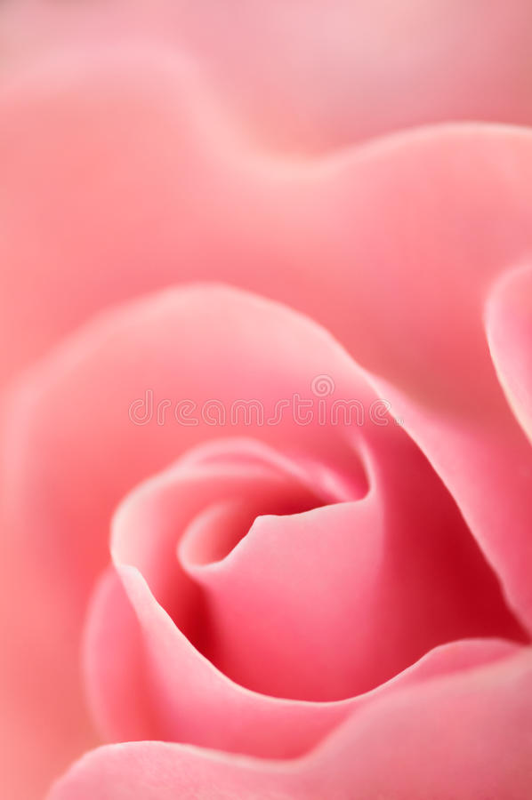 Free Rose Stock Images - 25445894
