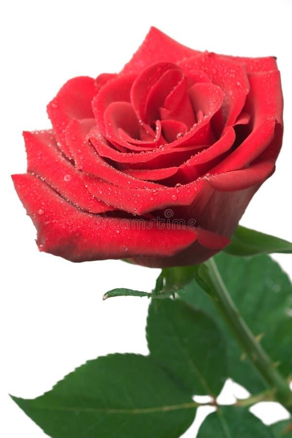 rose zdjęcie royalty free