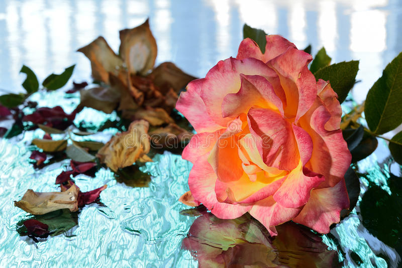Download Rose stock image. Image of single, beauty, floral, plant - 26440495