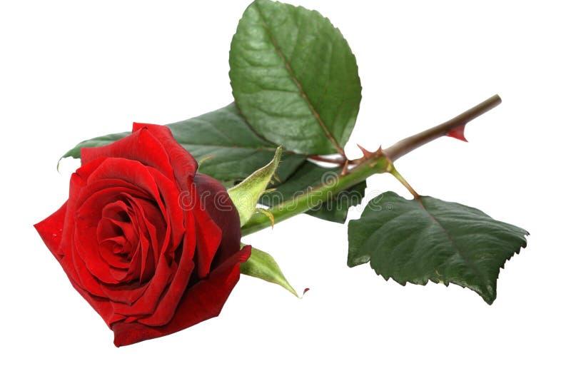Download Rose stock image. Image of color, gift, blossom, petal - 27875629