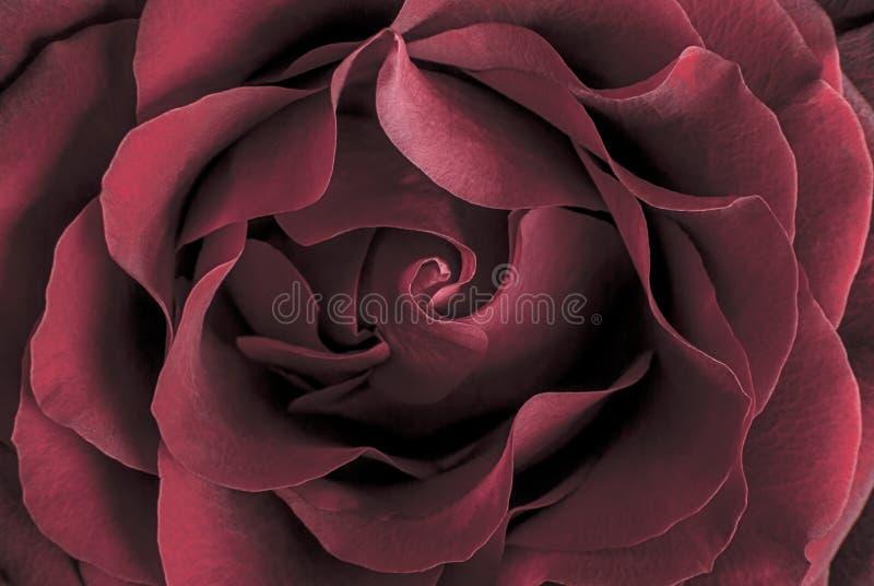 Download Rose stock photo. Image of details, memory, beautiful - 29341192