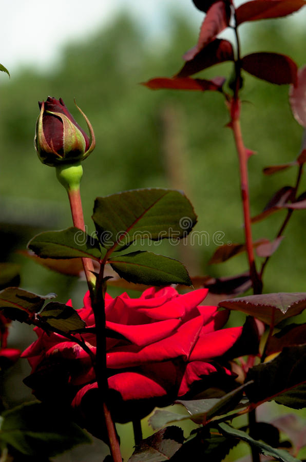 Rose-3 royalty free stock photography