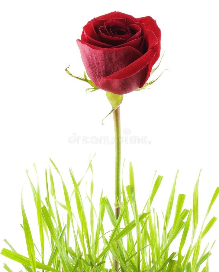 Download Rose Royalty Free Stock Photo - Image: 3094885