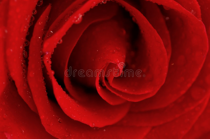 Download Rose stock photo. Image of passion, mornings, anniversary - 3137348