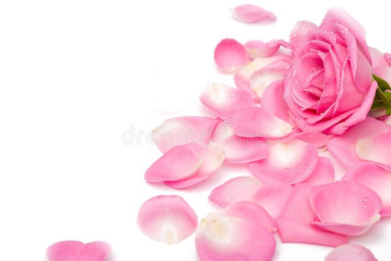 rose obraz stock