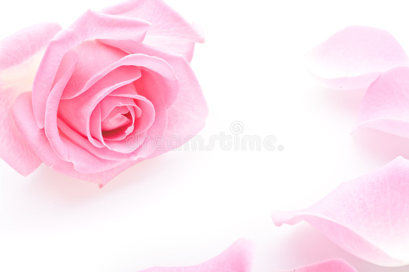 Rose photos libres de droits