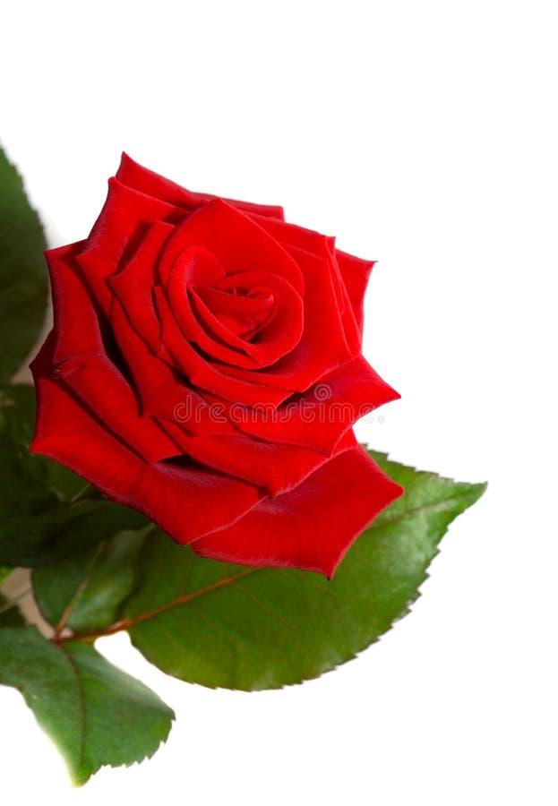Rose. stockfotos