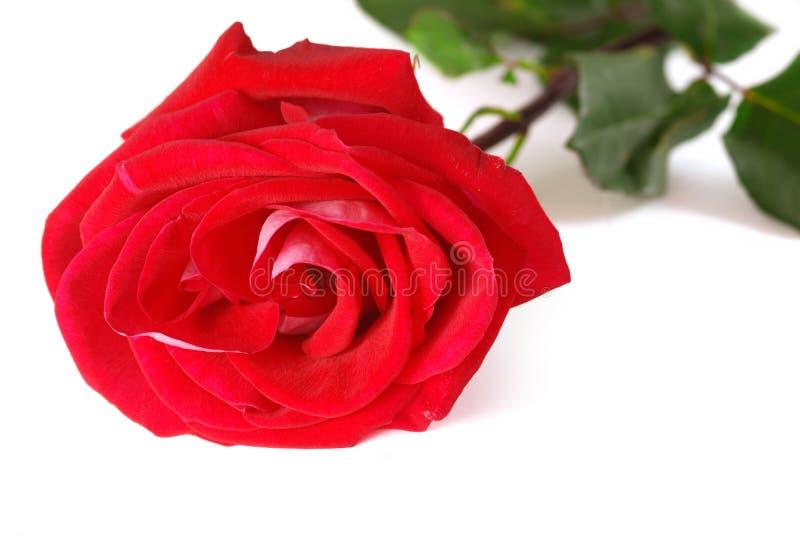 rose zdjęcie stock