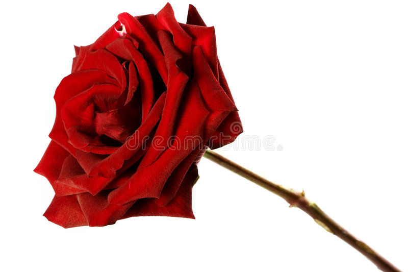 rose obrazy royalty free