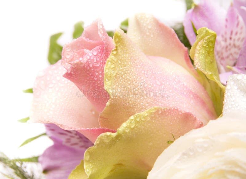 Rose. photos stock