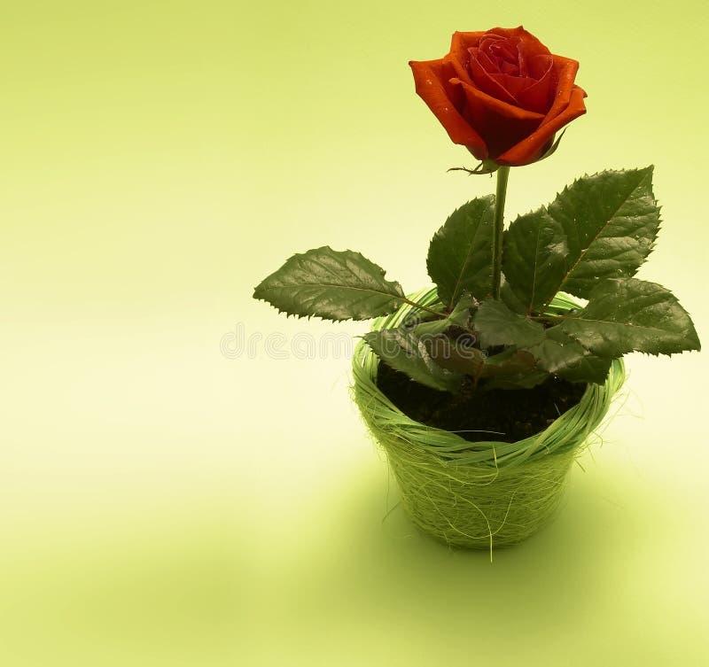 Download Rose stock image. Image of cupid, illustration, flora, bloom - 453315