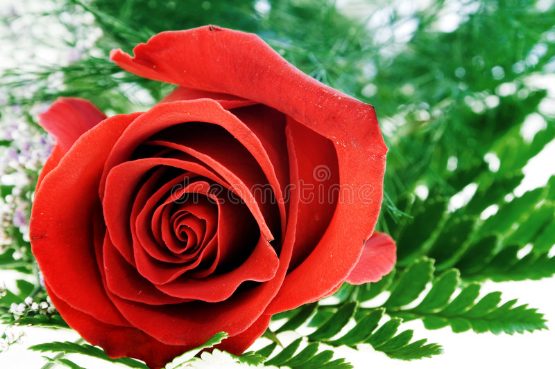 Download Rose stock image. Image of flower, details, love, thorn - 463263