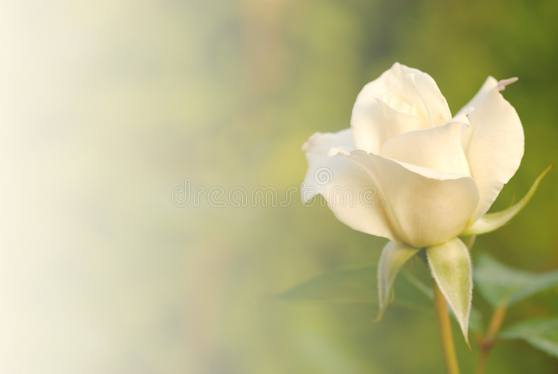Rose. White roses shining in the morning royalty free stock image