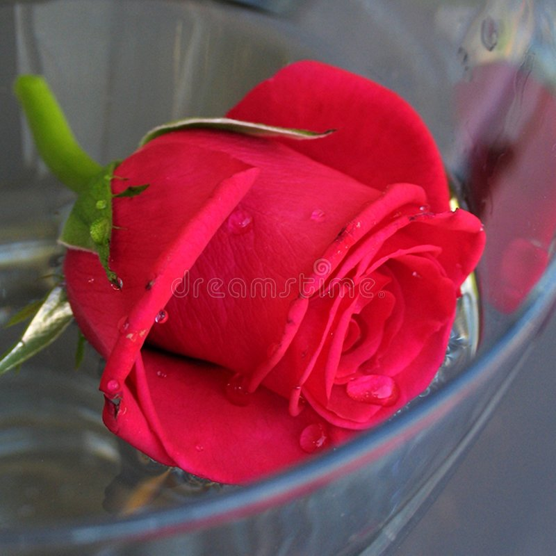 Rose stockfotos