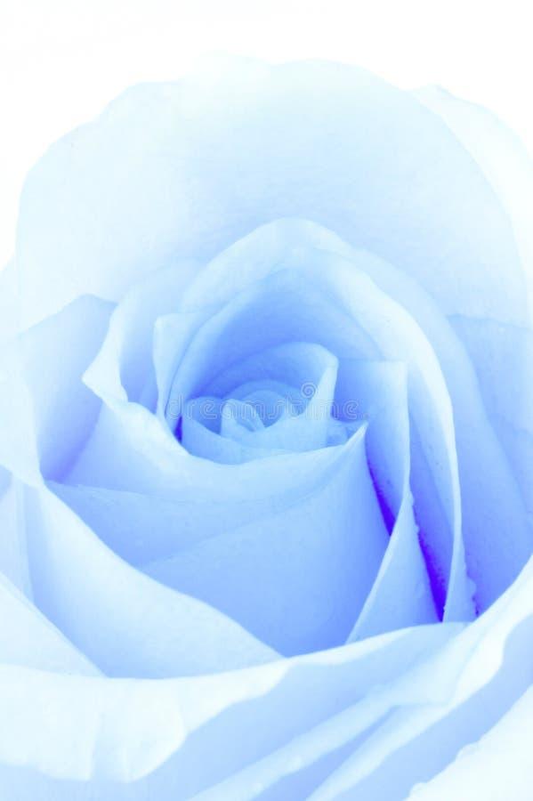 rose zdjęcia stock