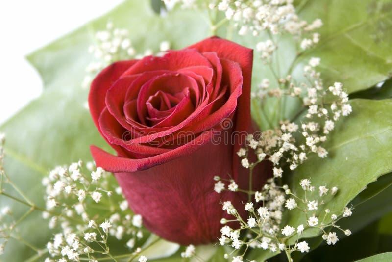 rose 5 zdjęcie royalty free