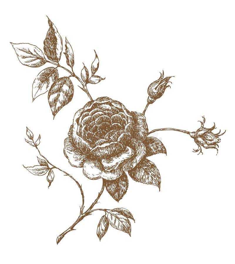 rose ilustracji