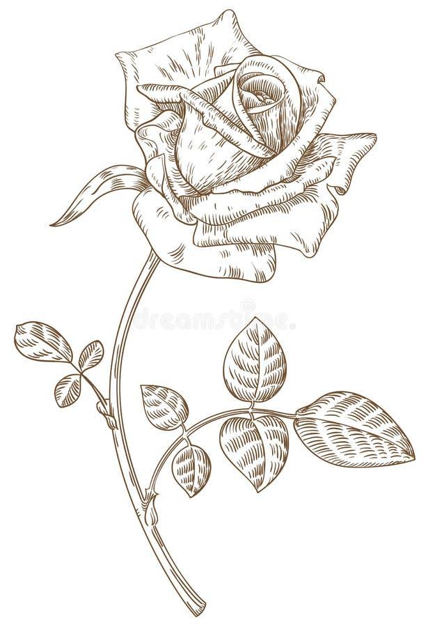 rose ilustracja wektor