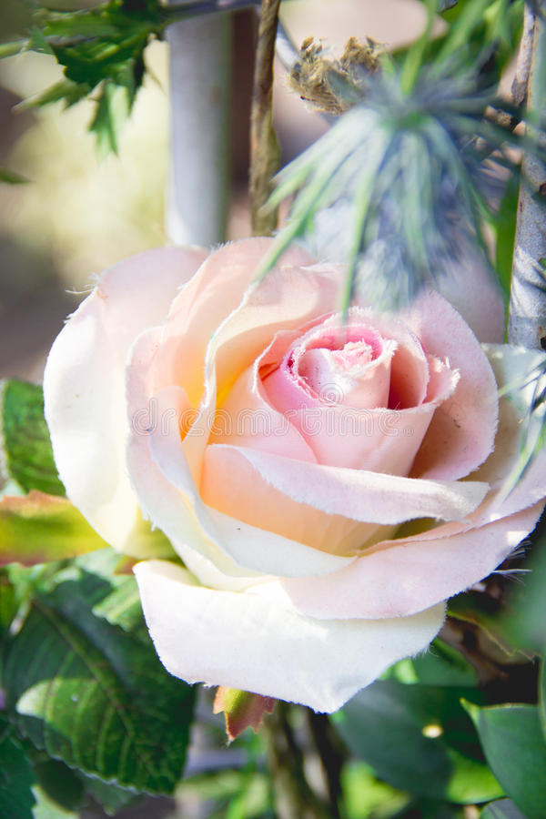 Download Rose photo stock. Image du jardin, rose, matin, couleurs - 56490238