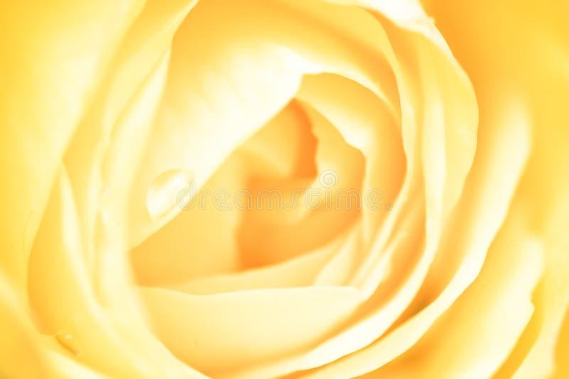 - rose, obraz stock