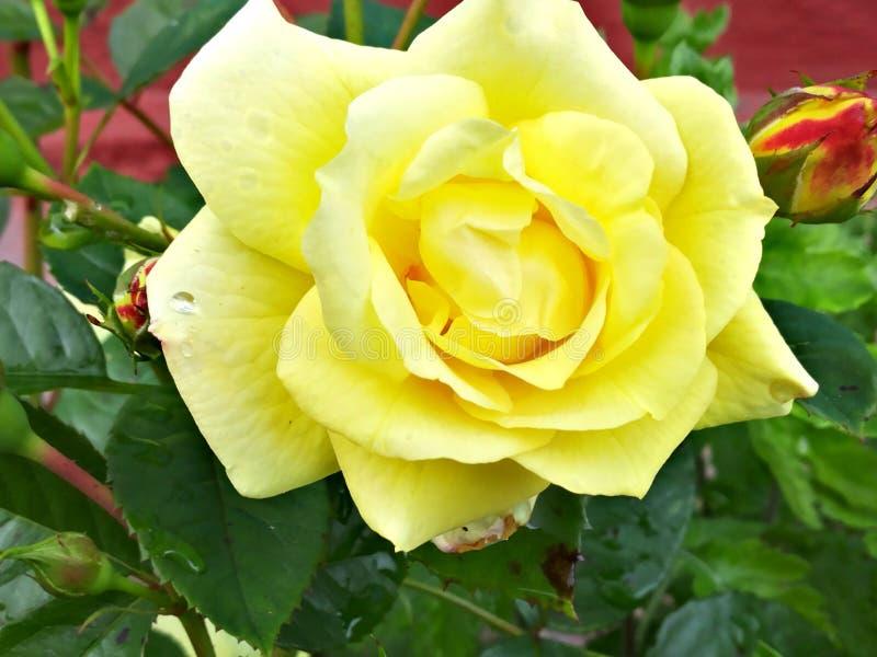 Rose photos libres de droits