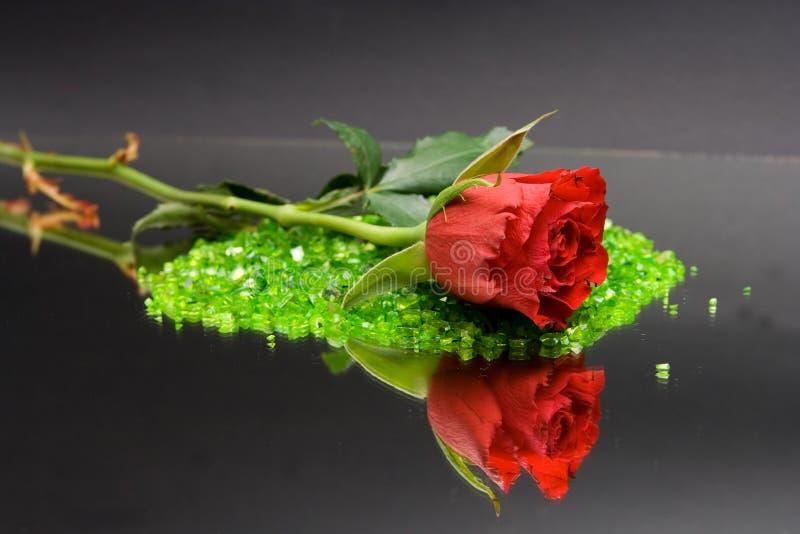 Rose royaltyfri foto