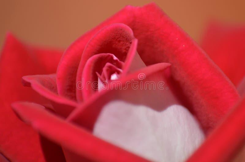 Rose ! photos stock