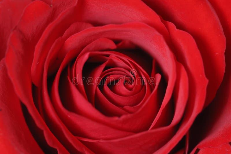 Rose lizenzfreie stockfotos
