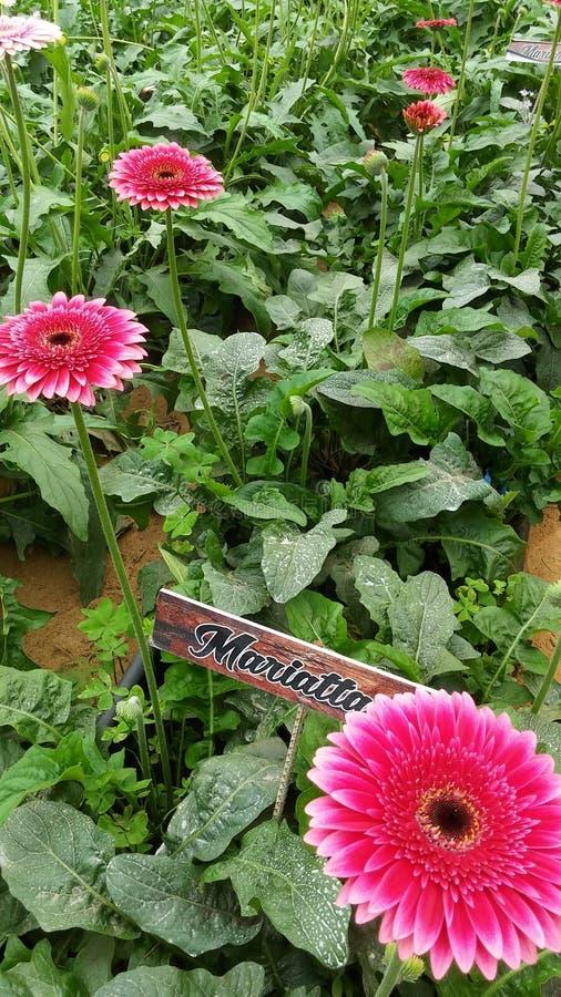 Rose photo libre de droits