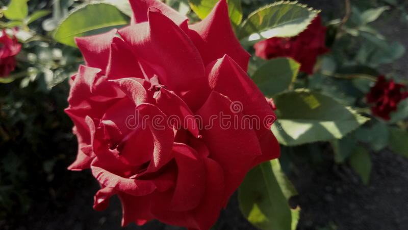 Rose photographie stock