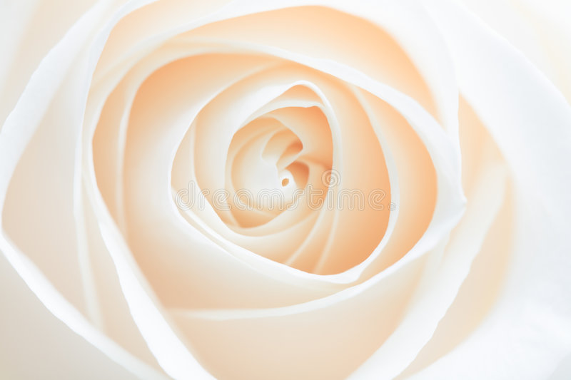 Rose abstract stock photography
