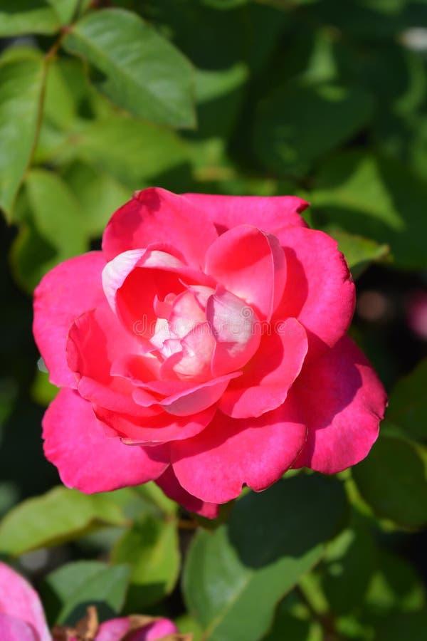 Rose Acapella. Pink flower - Latin name - Rosa Acapella royalty free stock photo
