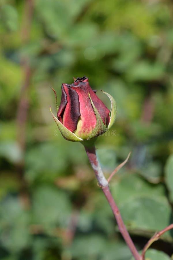 Rose Acapella. Flower bud - Latin name - Rosa Acapella royalty free stock image