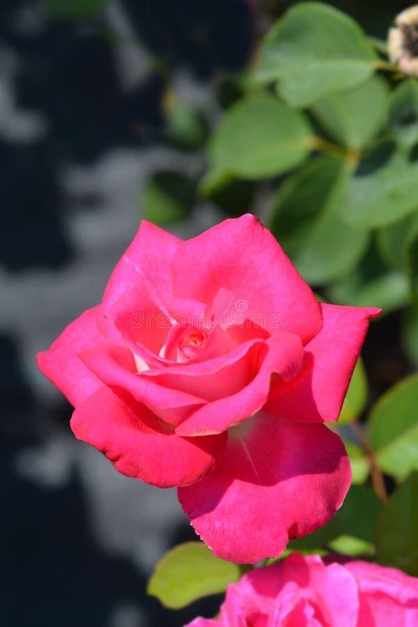 Rose Acapella. Pink flower - Latin name - Rosa Acapella stock photos