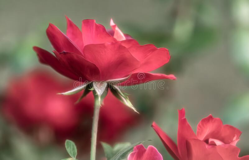 Rose Against Bokeh Background royalty free stock photography