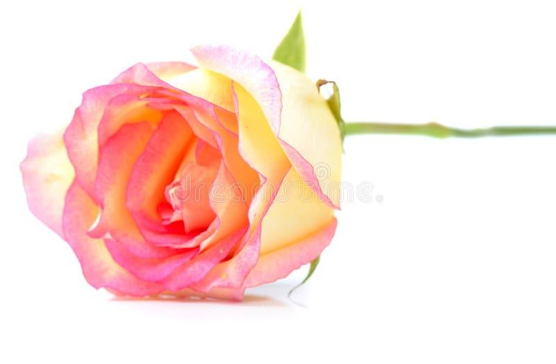 Rose aisló en un fondo blanco fotos de archivo libres de regalías