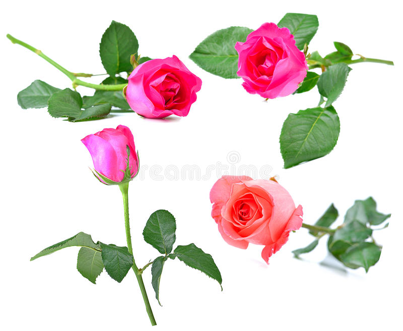 Rose aisló en un fondo blanco imagenes de archivo