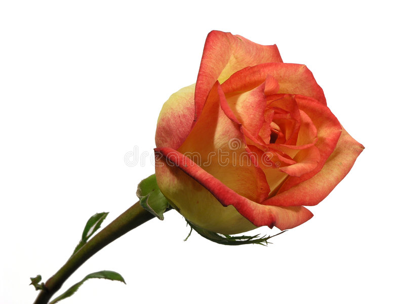 Rose aislada foto de archivo